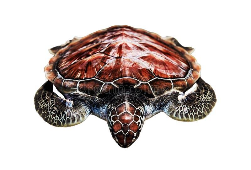 Loggerhead de loggerhead zeeschildpadrest op witte achtergrond wordt geïsoleerd die royalty-vrije stock foto