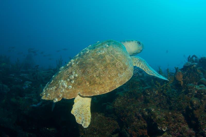 Loggerhead Overzeese caretta van schildpad-Caretta royalty-vrije stock foto's