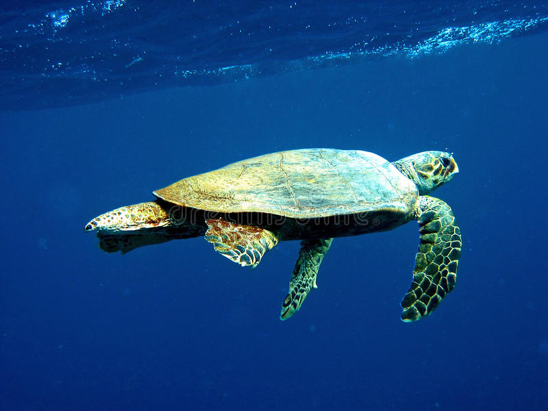 Loggerhead Overzeese Schildpad stock foto's