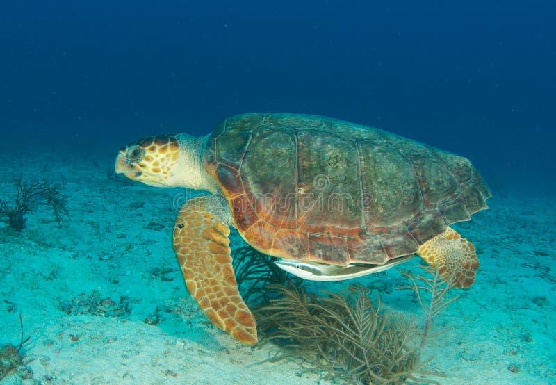 Loggerhead Overzeese Schildpad stock afbeeldingen