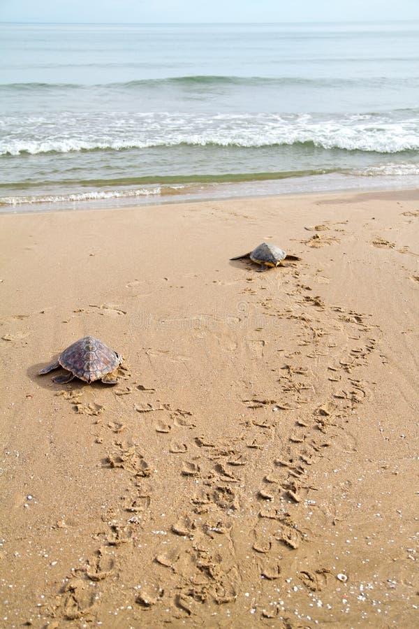 Loggerhead Overzeese Schildpadden (caretta Caretta) stock afbeelding