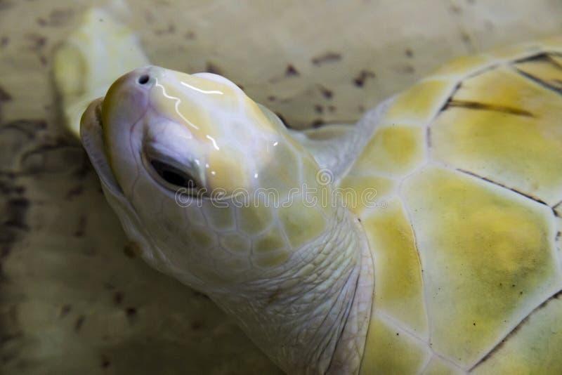 loggerhead schildpad & x28; Caretta& x29; in gevangenschap royalty-vrije stock foto's