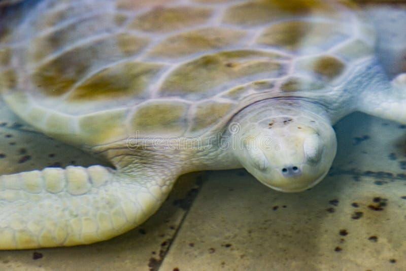 loggerhead schildpad & x28; Caretta& x29; in gevangenschap stock afbeelding