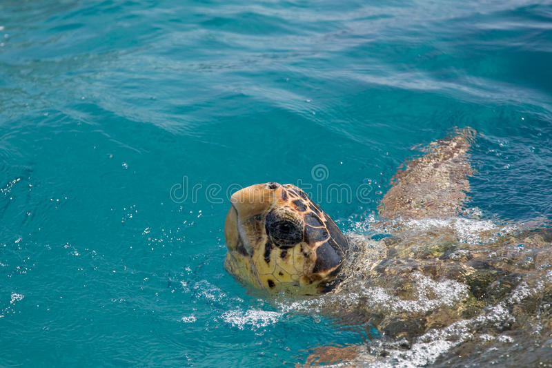 Download Loggerhead Sea Turtle Royalty Free Stock Images - Image: 14021479