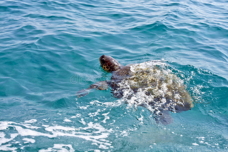 Download The Loggerhead Sea Turtle Royalty Free Stock Photo - Image: 17890965