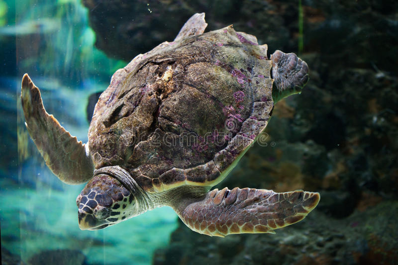 Loggerhead sea turtle (Caretta caretta). Loggerhead sea turtle (Caretta caretta), also known as the loggerhead. Wild life animal stock photography
