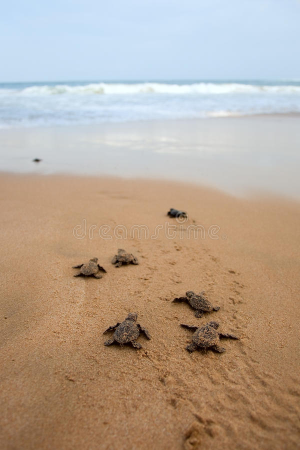 Free Loggerhead Sea Turtle Emergence Stock Photography - 25105972