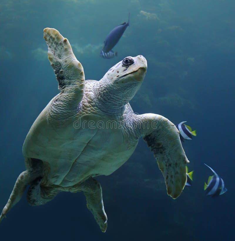 Loggerhead sea turtle with reef fishes 02 stock photos