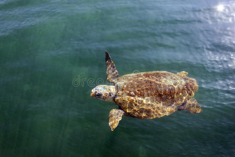Loggerhead sea turtle in the sea stock photography