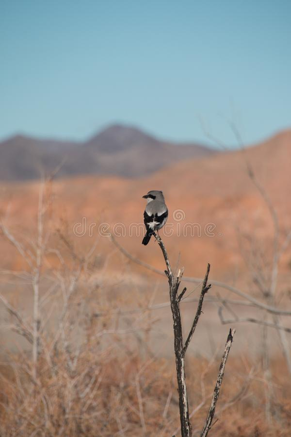 Loggerhead Shrike bird in the nature of lake mead recreation are. A, Nevada, USA royalty free stock images