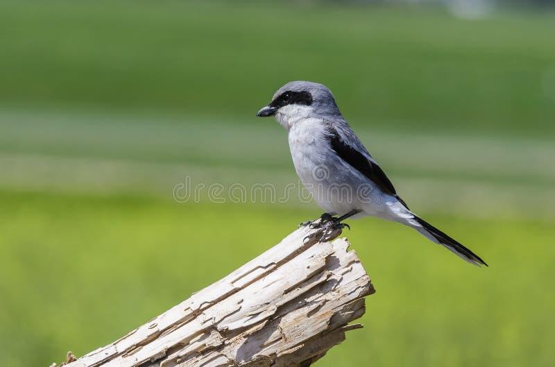 Loggerhead Shrike stock photography