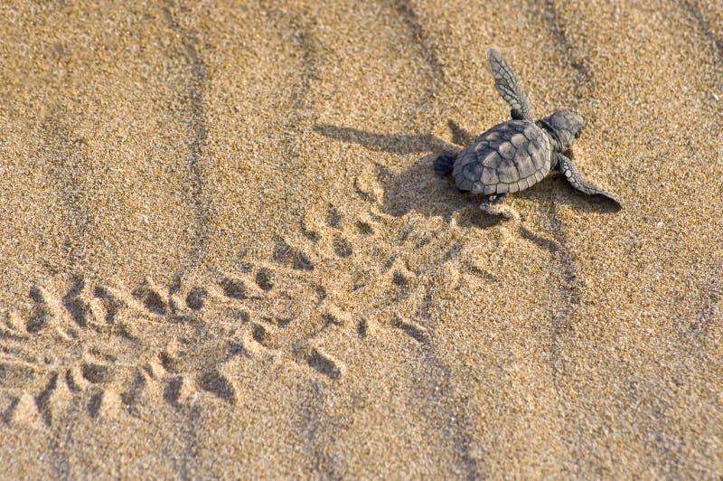 Loggerhead Turtle baby(Caretta caretta) royalty free stock image