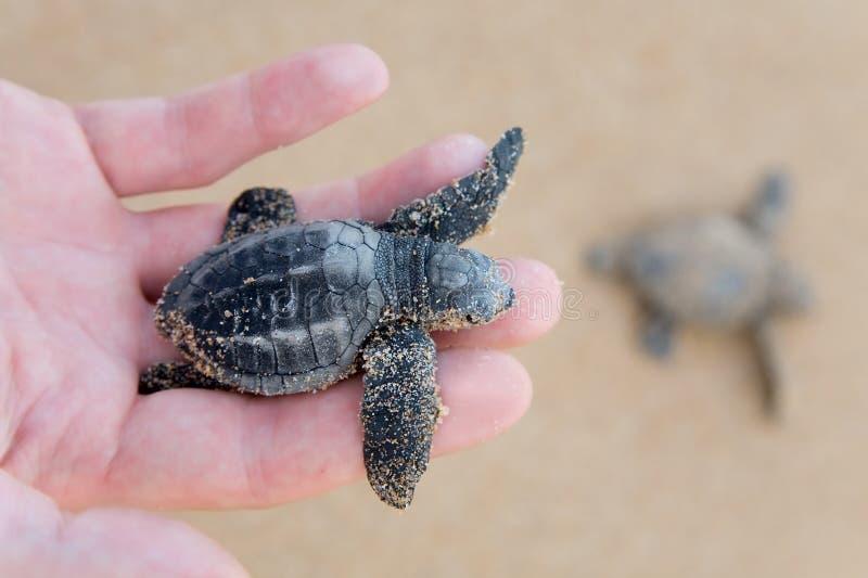 Download Loggerhead Turtle Baby(Caretta Carretta) Stock Photo - Image: 25106770