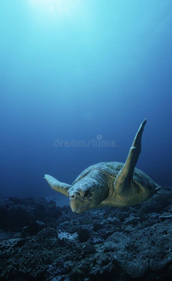 Loggerhead Turtle (caretta Caretta) Drifting Royalty Free Stock Image