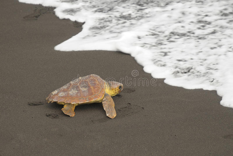Loggerhead turtles (Caretta caretta) royalty free stock image