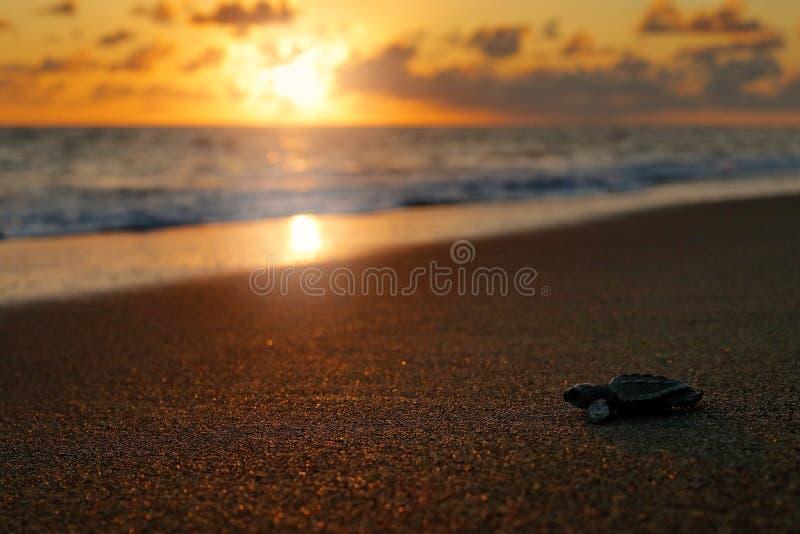 Loggerhead Zeeschildpad, Caretta-caretta, die geboorte op het zandstrand gelijk maken, Corcovado NP, Costa Rica Eerste kleine min stock afbeeldingen