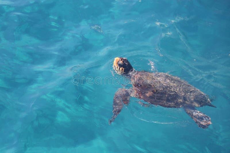 Loggerhead zeeschildpad die (Caretta Caretta) zwemmen royalty-vrije stock foto's