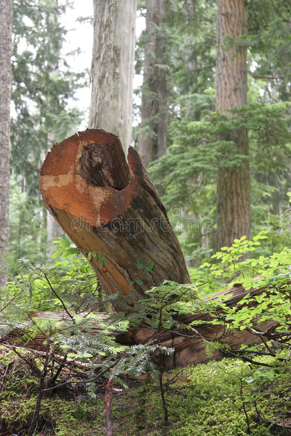 Logging. Clearcut or selective logging in big timbe.r stock photography