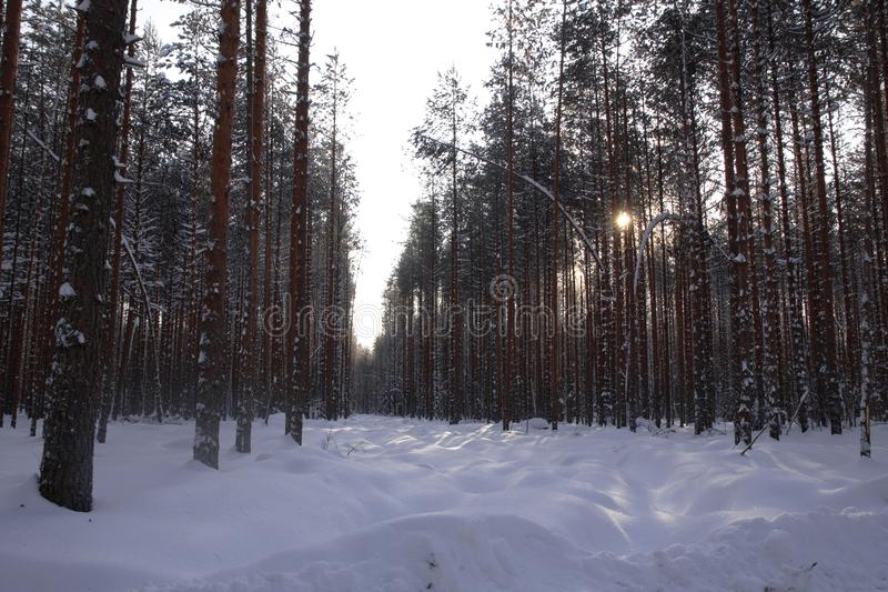 Logging wood in winter forest landscape pine. Season snow North royalty free stock images