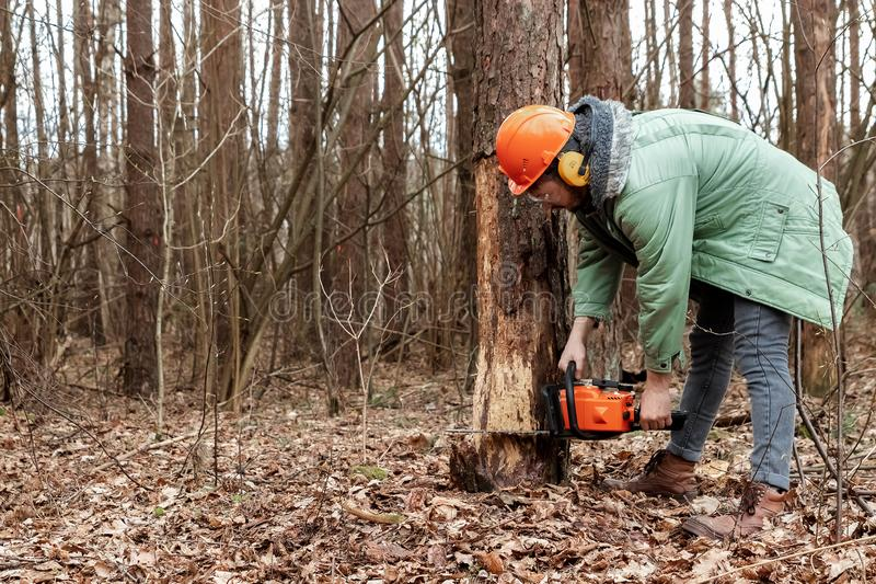 Logging, Worker in a protective suit with a chainsaw sawing wood. Cutting down trees, forest destruction. The concept of royalty free stock image