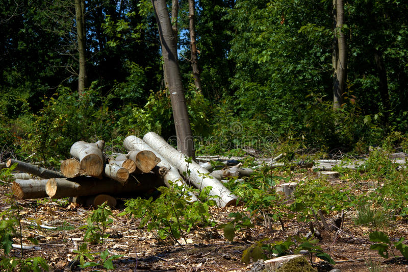 Logs in the forest. Trees cut down stock image