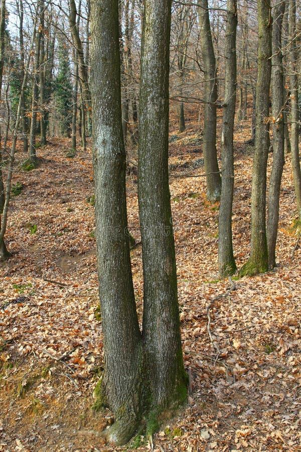 Logs gêmeos imagem de stock royalty free
