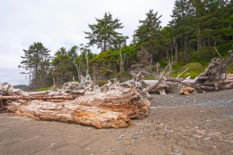 Logs maciços e árvores Windblown na costa imagem de stock
