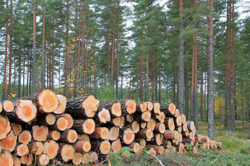 Logs in Pine Forest in Autumn royalty free stock photos