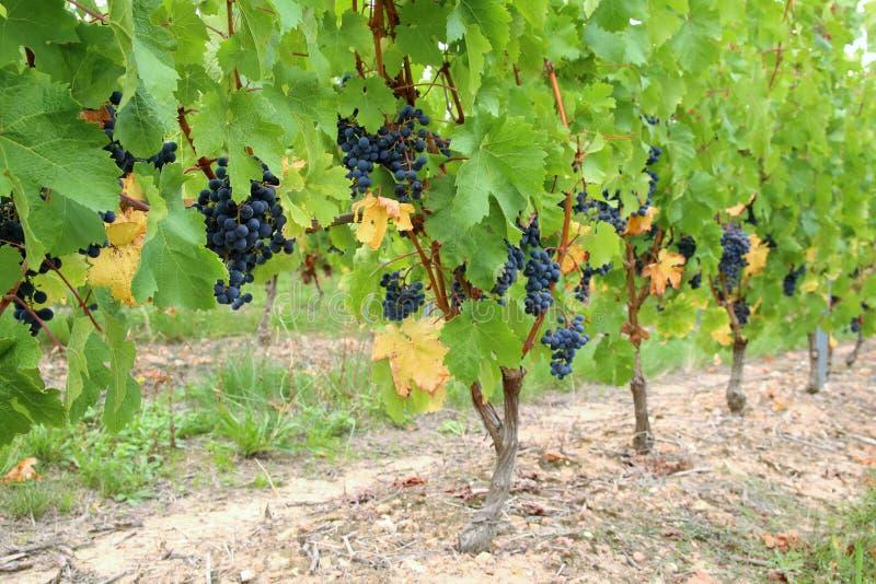 Cabernet Franc black grape vines. Loire Valley Cabernet Franc black grape vines stock image