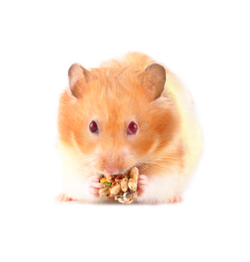 Lois the Hamster. A female Syrian hamster looking at you while holding/chewing a treat made of nuts against a white background stock photos
