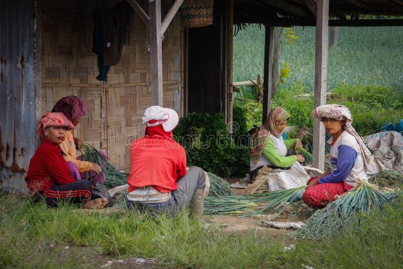 Lokala kvinnor skördar lökar på en bondes koloni Jordbruk på ön av Sumatra royaltyfri bild