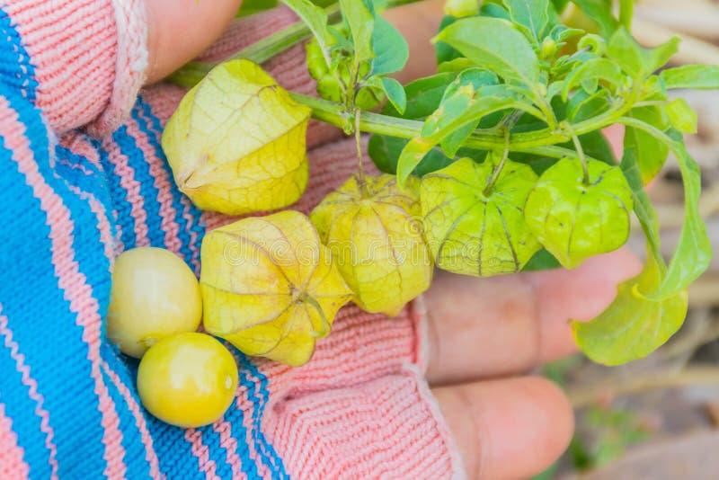 Lokale Kaapkruisbes, Gemalen kersen, Inca-bes, Gouden aardbei, Aardbeitomaat, Solanaceae, het post optredende onkruid in padie stock afbeelding