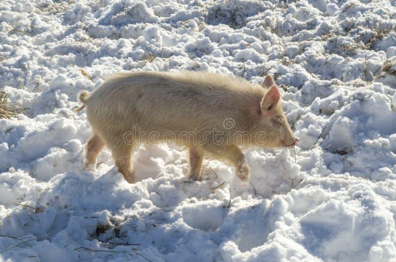 Lokale Schweinzucht des Bulgaren Ost-kleines Schwein Balkans stockfoto