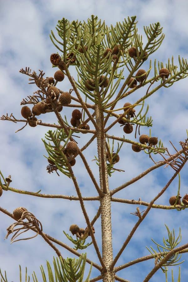 Lokale vegetatie in Sunny Tunisia op het grondgebied van het hotel Bomen in de woestijn stock afbeeldingen