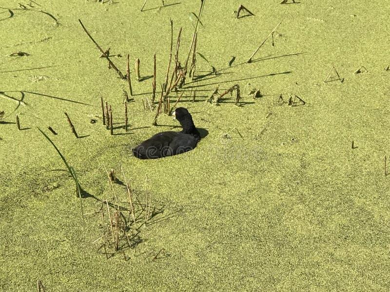Lokale wild lebende Tiere im See Astotin des Elch-Insel-Nationalparks in Alberta stockbild