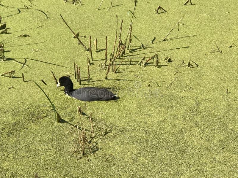 Lokale wild lebende Tiere im See Astotin des Elch-Insel-Nationalparks in Alberta stockbilder