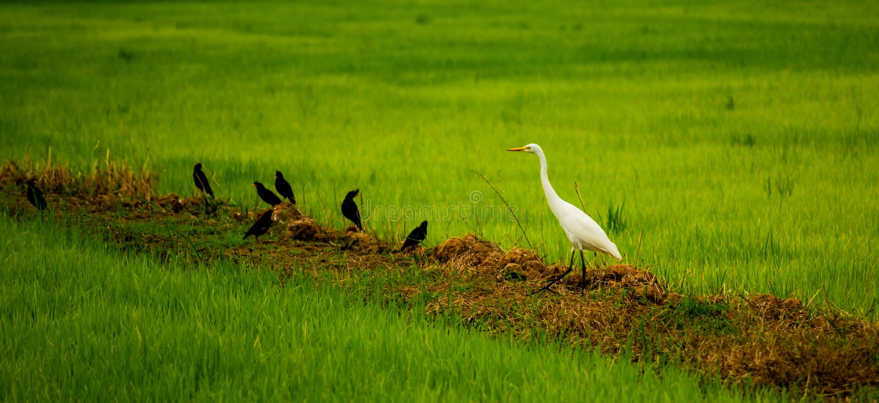 Lokale witte vogel en Mynas-vogels die in het organische padieveld in platteland van Thailand leven stock foto