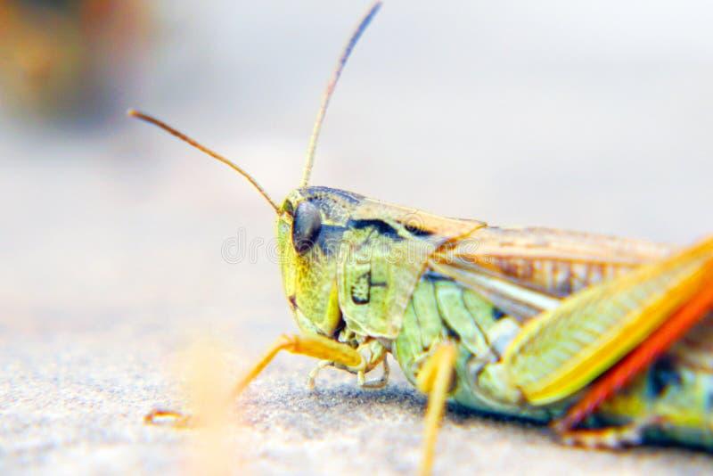 Lokaler på marken Locust invasion fotografering för bildbyråer