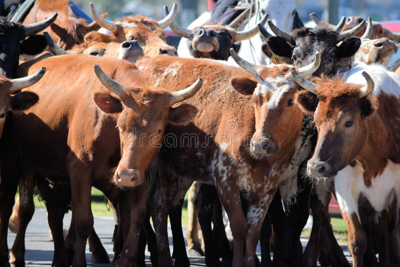 Lokaler Vieh-Antrieb bei Ocala, Florida stockbilder