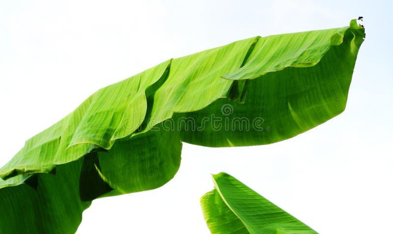 Lokalisieren Sie die Spitze der Bananenstauden lizenzfreie stockfotos