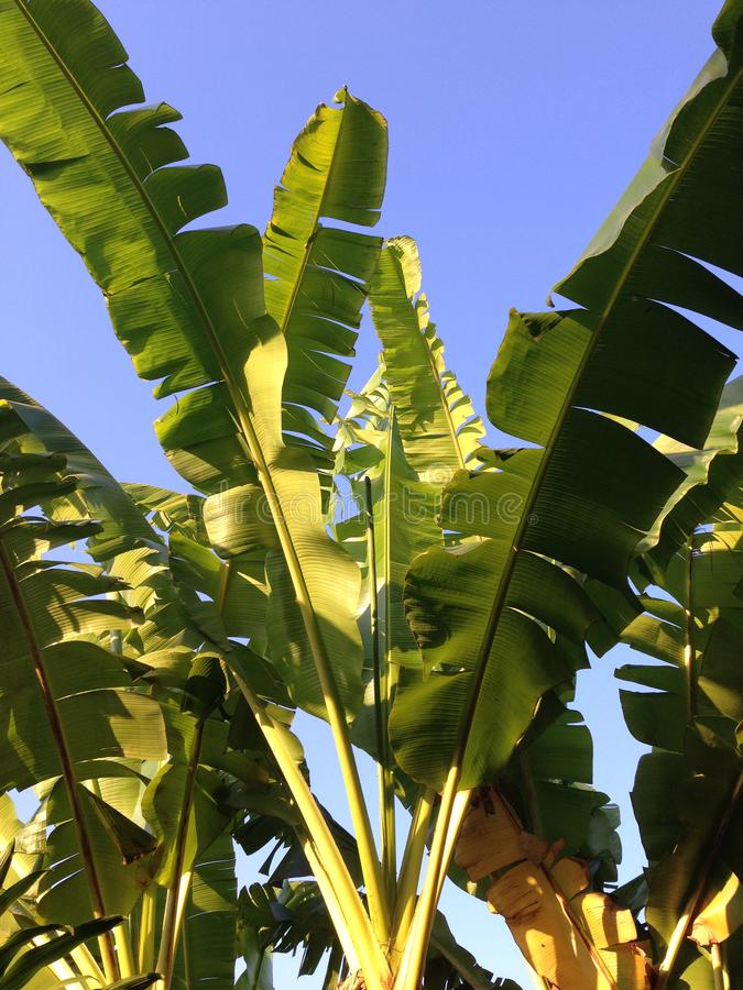 Lokalisieren Sie die Spitze der Bananenstauden, die große Blätter haben stockfoto