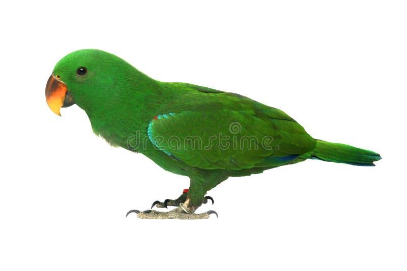Lokalisiert von männlichem Eclectus-Papageien, altern Sie fünf Monate stockfotos