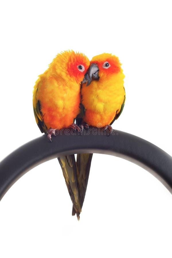 Lokalisiert von reizendem Sun Conure in den Paaren lizenzfreies stockbild