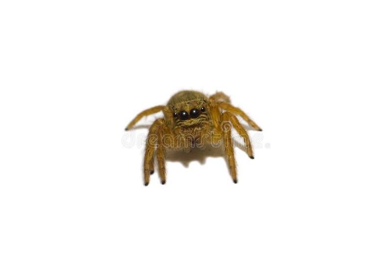 Lokalisiert wenigem Pulloverspinnengesicht lizenzfreie stockfotos