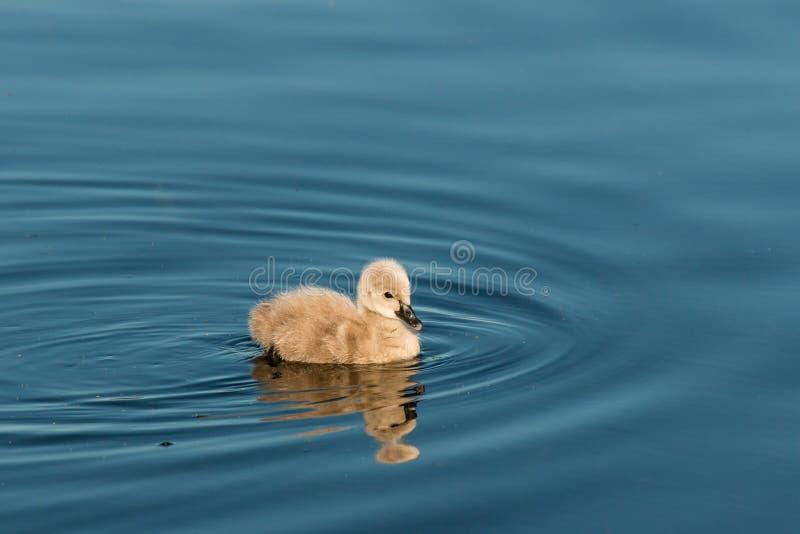 Lokalisierte Cygnetschwimmen auf See lizenzfreies stockfoto