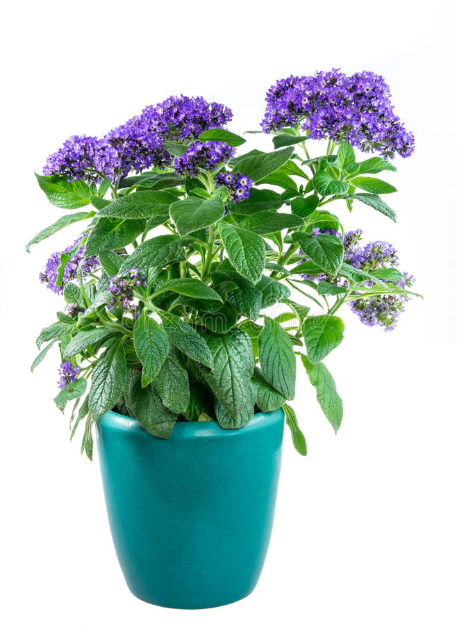 Lokalisierte eingemachte purpled Gartenheliotropblume stockbilder