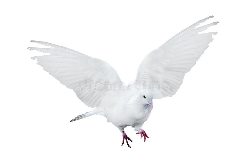Lokalisierte fliegende Reinweißtaube stockfotos