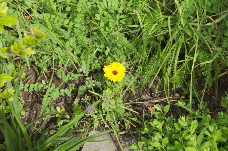 Lokalisierte gelbe Blume Tickseed Coreopsis im Garten Deutschland lizenzfreies stockfoto