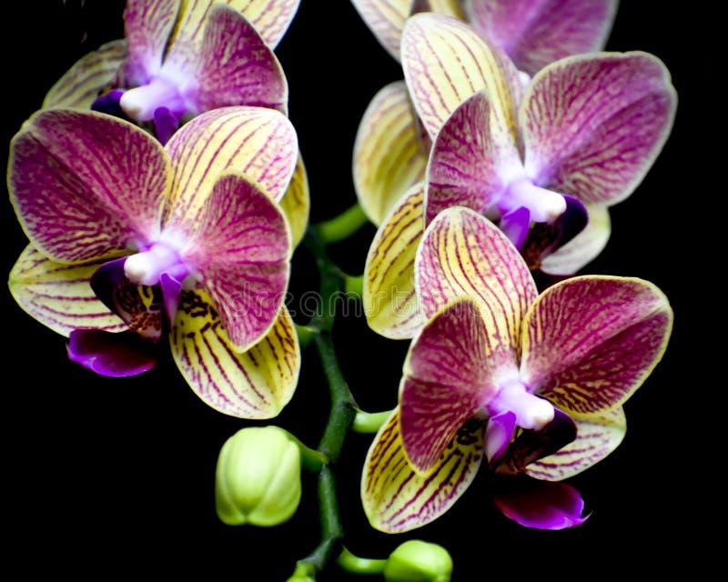 Lokalisierte gelbe und purpurrote Orchideen-Blumen, schwarzer Hintergrund stockbild