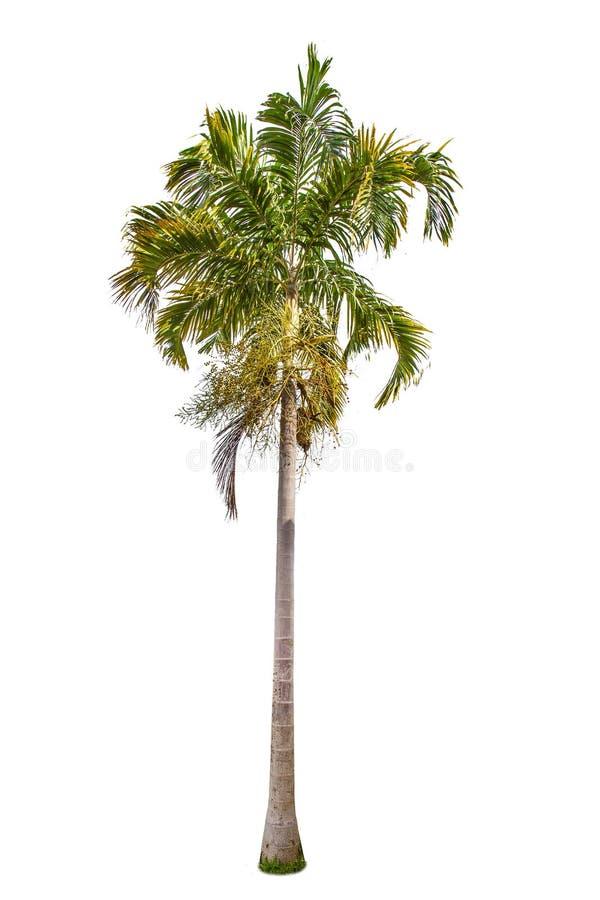 Lokalisierte große Palme auf weißem Hintergrund stockbild